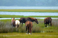 Assateague Island Pony
